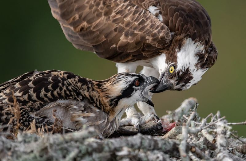 Close-up of ospreys