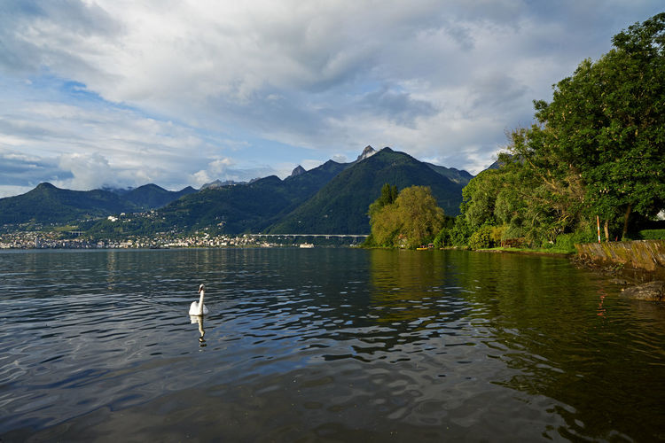 Swan swimming in lake against mountains