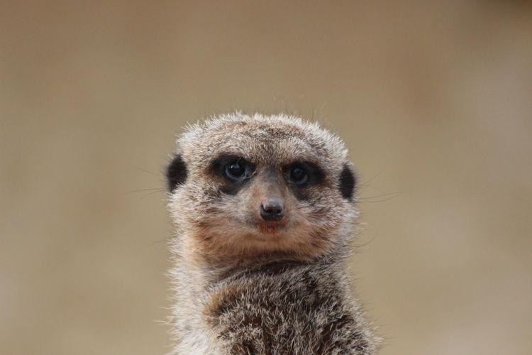 Portrait of an meercat