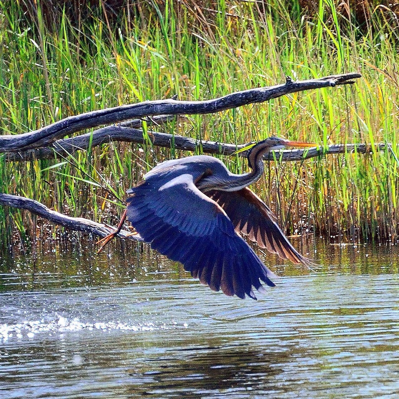 bird, great blue heron, animal wildlife, one animal, spread wings, animals in the wild, heron, gray heron, water, animal themes, nature, lake, no people, outdoors, day, tree, beauty in nature, close-up