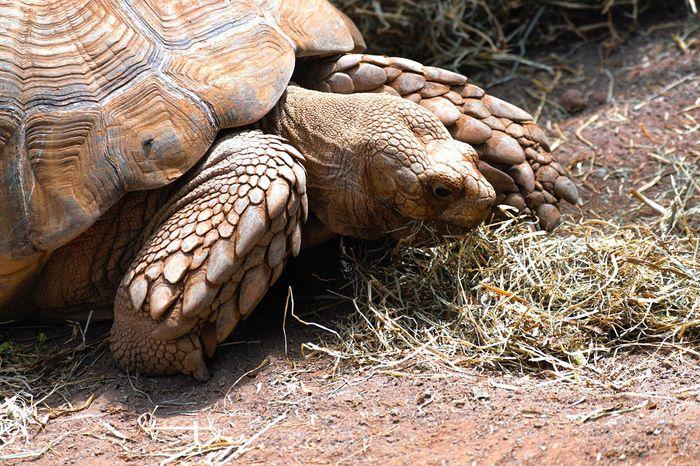 Tenerife Turtle One Animal Reptile Animal Wildlife Tortoise Shell Animals In The Wild Grass