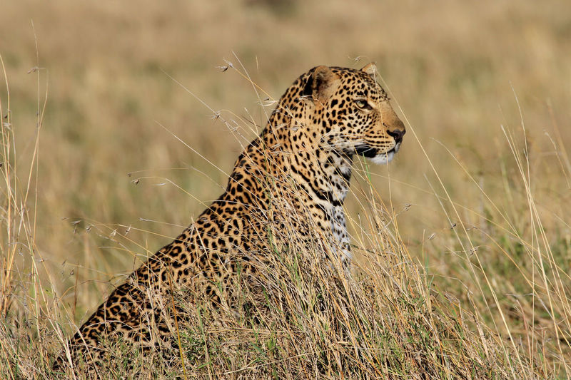 Close-Up Of Leopard In Grass
