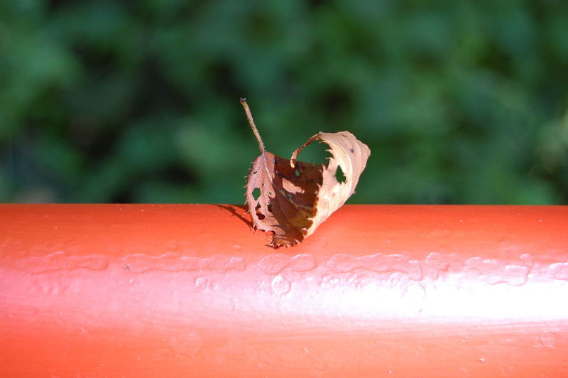 Dry leaf on fence in Nihommatsu, Fukushima Prefecture, raw photo Animal Antenna Blatt Close-up Day Dry Leaf Fence Focus On Foreground FUKUSHIMA Leaf Nature Outdoors Raw Photography Red Red Fence Selective Focus Zaun