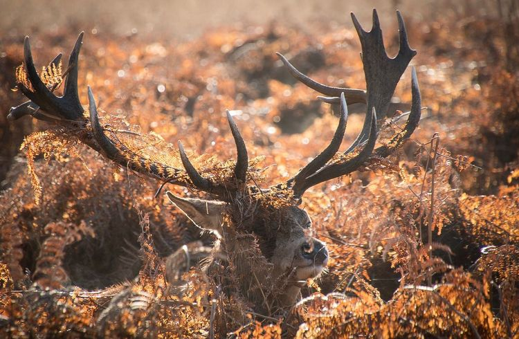 Enjoying the shelter Antler No People Nature Animals In The Wild Outdoors Animal Themes Day Mammal Close-up Stag Foliage Plant Foliage Stags Deer Richmond Park, London Animal Wildlife Nature