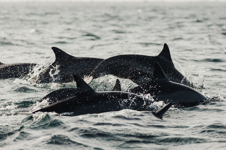 Pod of dolphins in sea