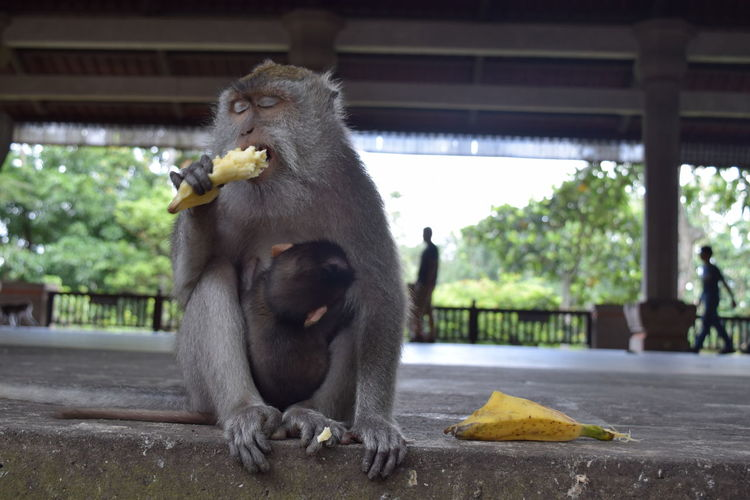 Monkey eating a