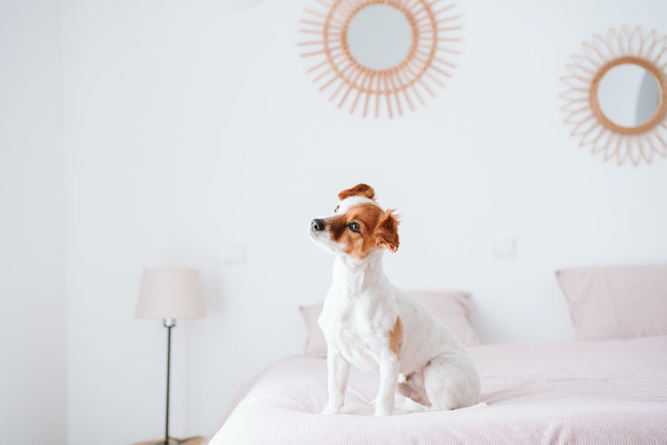 Dog looking away while sitting on bed at home
