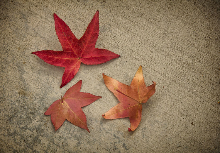 High angle view of maple leaf on orange leaves