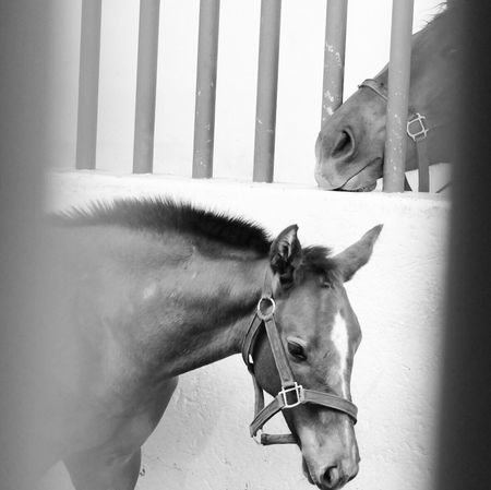 Domestic Animals Horse Animal Themes Mammal Two Animals Livestock Day No People Pets Close-up Outdoors Blackandwhite Blackandwhite Photography