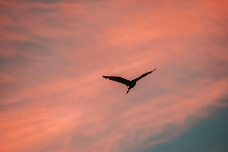 Sunset Animal Animal Themes Animal Wildlife Vertebrate Animals In The Wild One Animal Bird Sky Flying Cloud - Sky Orange Color Silhouette Spread Wings Low Angle View Beauty In Nature Nature No People Freedom Mid-air Outdoors