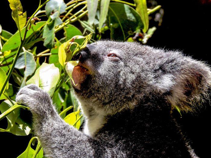Koala eating Eucalyptus Eating Animal Wildlife Aninallovers Koala Headshot One Animal Close-up Animal Themes Plant Animal Beauty In Nature