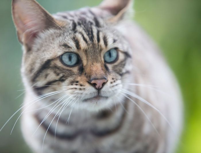 Bengal Cat Bengal Cat Stripey Cat Pets Mammal Domestic Cat Whisker Outdoors Eyes Cats Of EyeEm Cats Eyes Fur Pattern Gillian McBain Photographer Canonphotography Feline Close-up