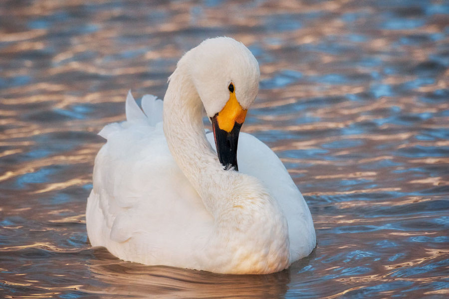 Animal Animal Themes Animals In The Wild Beak Beauty In Nature Bewick's Swan Bird Bird Migration Close-up Cygnus Bewickii Cygnus Columbianus Day Endagered Species Nature No People One Animal Outdoors Swan Swimming Water White Color Wintertime