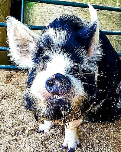 Pets One Animal Animal Themes Mammal Domestic Animals Close-up Portrait Pig Funny Anımals Funny Face Big Pig Piggy Bucktooth Buckteeth Big Teeth Farm Animal Pets Of Eyeem Pet Pet Pig Pig Nose So Ugly It's Beautiful! Ugly Is Nice Barn Animals Black And White Animals Fat Pig