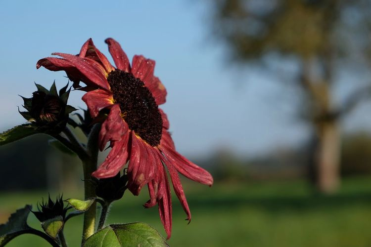 Close-up of pink sunflower blooming on field against sky