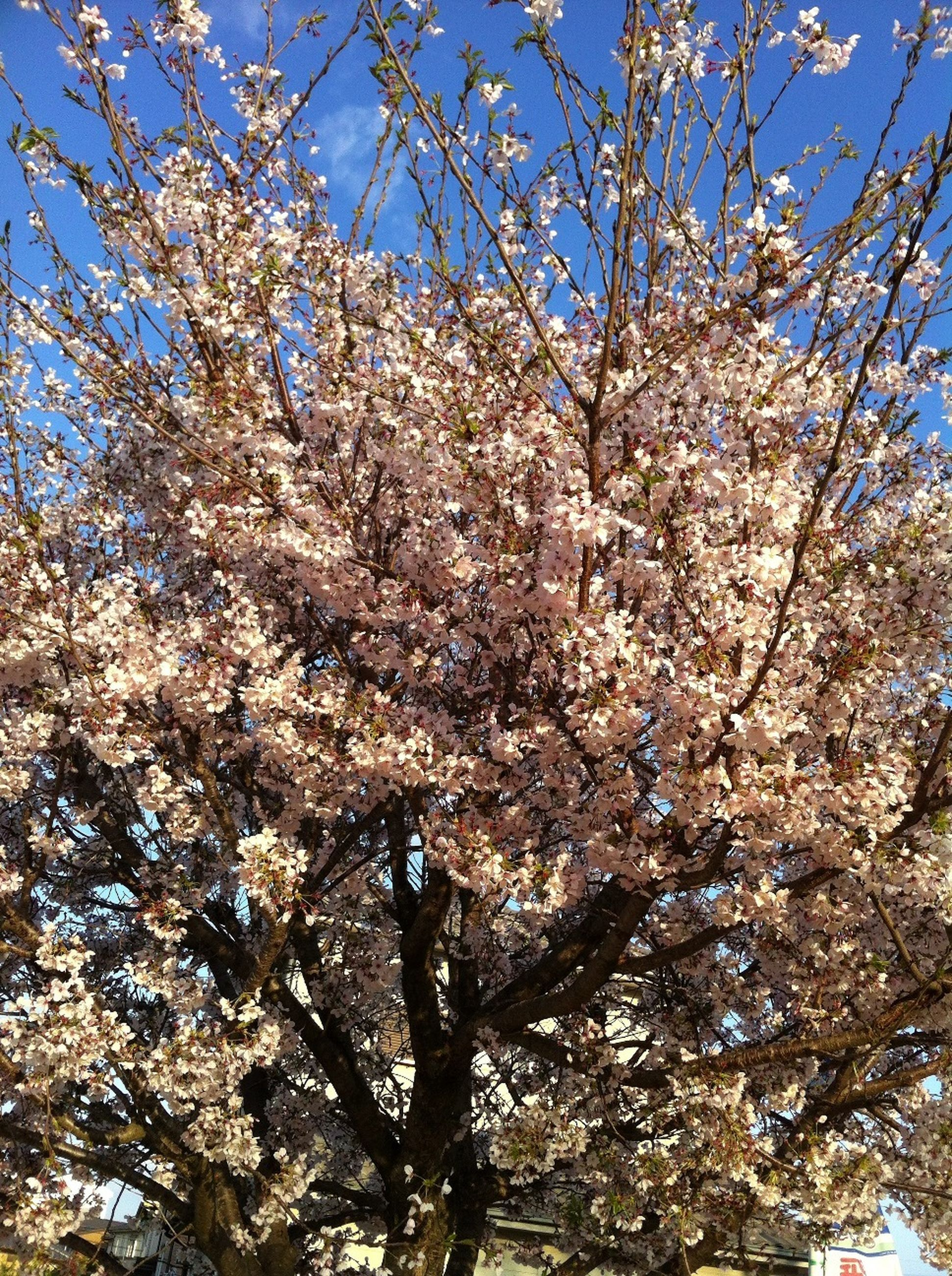 tree, branch, flower, low angle view, cherry blossom, growth, cherry tree, freshness, nature, beauty in nature, blossom, fragility, springtime, fruit tree, sky, clear sky, in bloom, day, sunlight, outdoors