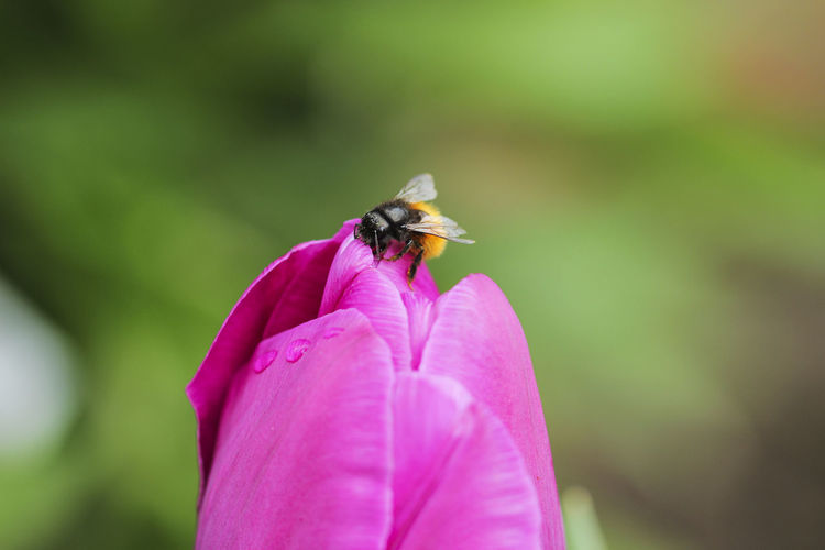 Close-up of bumblebee on pink flower