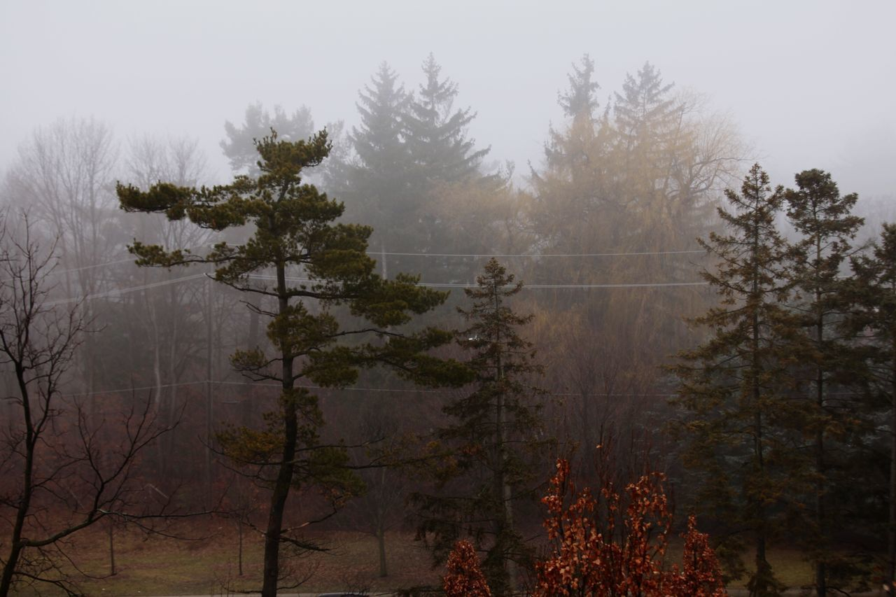 tree, fog, nature, forest, no people, mist, tranquil scene, tranquility, hazy, landscape, beauty in nature, day, growth, winter, branch, outdoors, scenics, sky