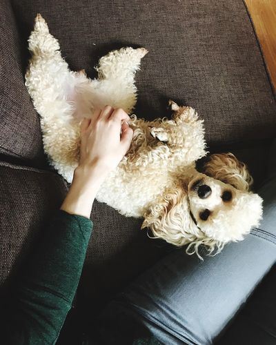 Dog Pets Domestic Animals High Angle View Indoors  One Person Mammal One Animal Real People Home Interior Stuffed Toy Animal Themes Day Human Hand Close-up People Dog Love Pet