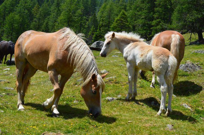 Italien Italia Italy Alto Adige Südtirol South Tyrol Ultental Horse EyeEm Selects Group Of Animals Mammal Animal Themes Domestic Animals Animal Livestock Domestic Pets No People Animal Wildlife Grass Nature
