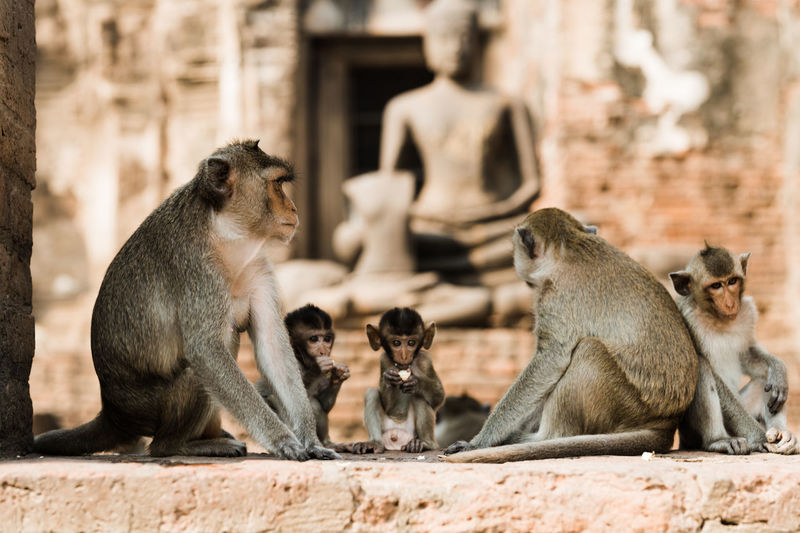 Monkeys at the temple ruins in Lopburi, Thailand Group Of Animals Animal Animal Wildlife Animal Themes Mammal Animals In The Wild Sitting Primate Vertebrate Day No People Focus On Foreground Monkey Young Animal Architecture Four Animals Togetherness Relaxation Looking Built Structure Animal Family Lopburi Lopburi Thailand Lopburi Location Lopburi, Thailand Thailand_allshots Thailandtravel Thailand Photos Thailand🇹🇭 Monkeys Temple Temple - Building Temple Architecture Temples Thai