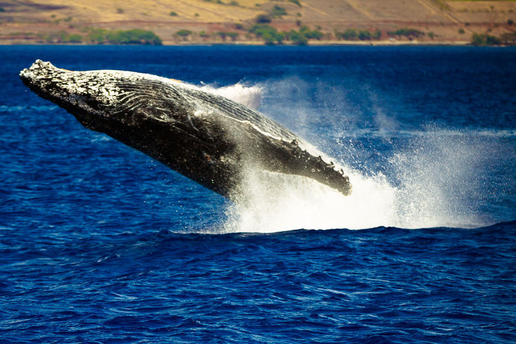 Animal Themes Animal Wildlife Animals In The Wild Aquatic Mammal Beauty In Nature Day Dolphin Humpback Whale Mammal Motion Nature No People One Animal Outdoors Sea Sea Life Sky Splashing Swimming Tail Water Waterfront Whale