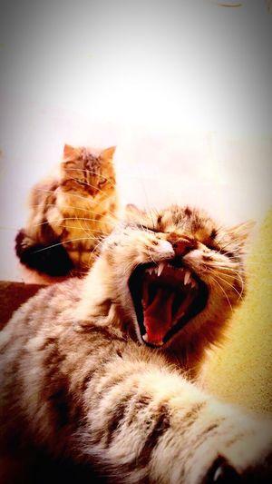 Chat Roaaaaaaar Lion Love 🐱🦁