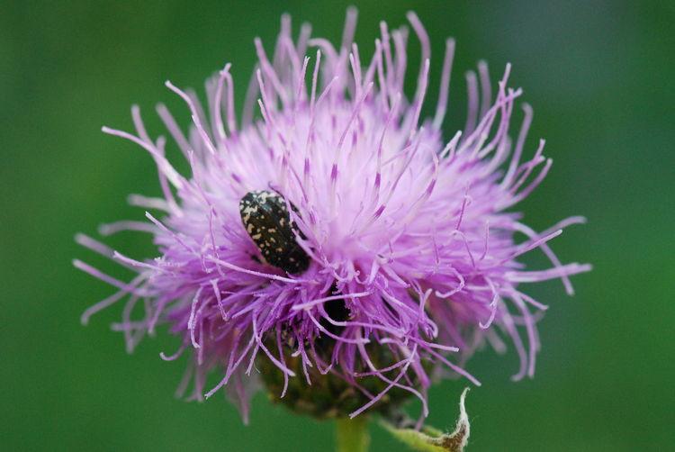 Bug Flower Green Macro Nature Pink жук Природа чертополох