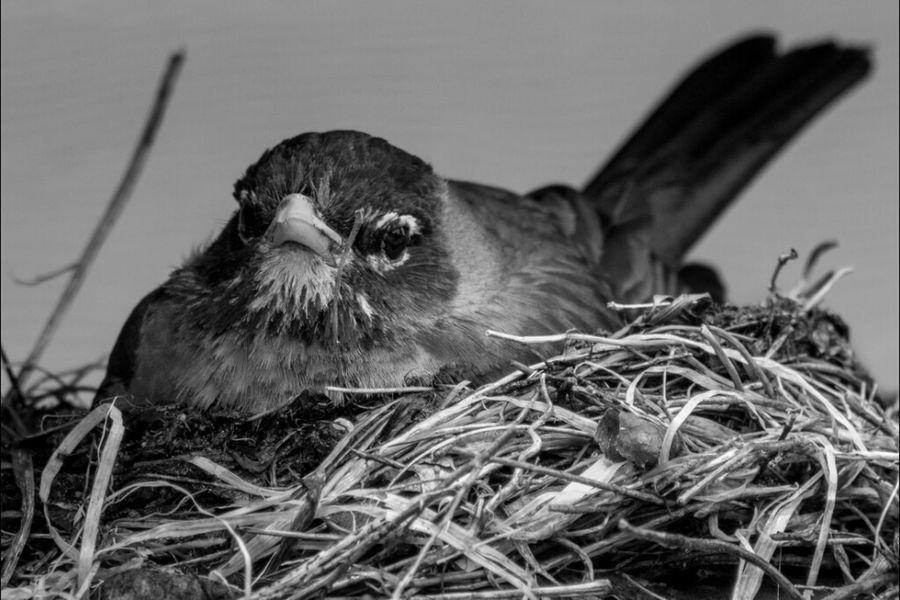 Robin Nature Blackandwhite Animals Birds