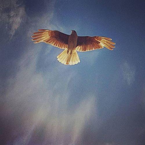 Vuela vuela🎵🎶 Buenas noches a tod@s! Chimango Skyporn Birds Ave Instabird Birdwatching Sky Nubesdetuciudad Ig_captures Igargentina Ig_buenosaires Igersbsas Instagood Summer Mardelplata Cloudporn Pajaro MYR Mistica_y_romance Pg_misticayromance Amateurs_shot Icarus Icaru Feathers Plumas alas wings plumaje freedom hunter