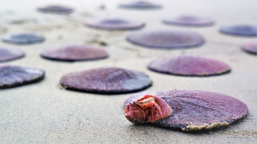 Barnacle Copy Space Close-up No People Focus On Foreground Sand Solid Selective Focus Rock Animal Animal Wildlife Nature Rock - Object Indoors  Animal Themes Still Life Shell Sea Life Animal Shell Marine Day Seashell Purple Sand Dollar Barnacles Beach Photography Beach Life