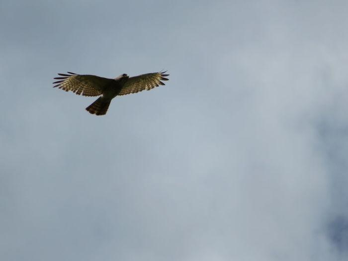 Hawk in nature in flight Open Sky Hawk In Nature Hawks Hawk Hawks Of Eyeem Beautiful Hawk Bird Of Prey Bird Spread Wings Flying Animal Themes Sky Hawk - Bird Animal Wing Feather
