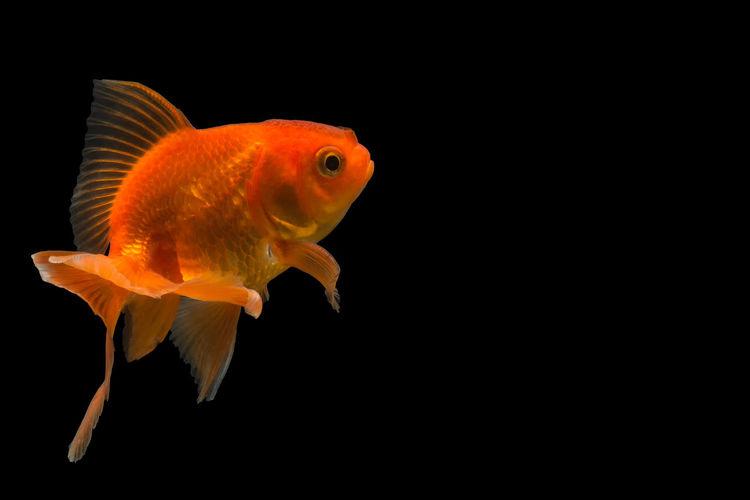 Close-Up Of Goldfish Against Black Background