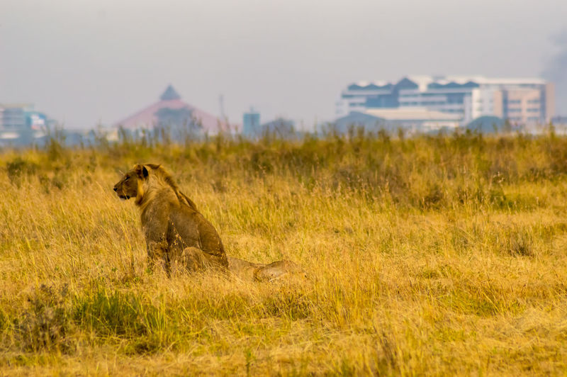 Animal Themes Animal Animals In The Wild Mammal One Animal Lion - Feline Feline Lioness Cat Nature Field Nairobi National Park