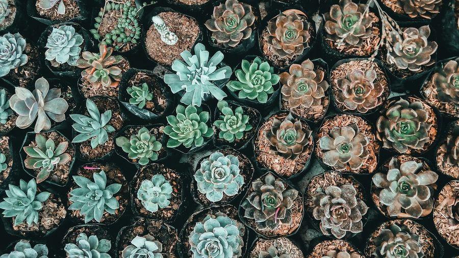 succulents Baguio Philippines La Trinidad, Benguet Strawberry Farm Succulent Plants Plant Green Rosé