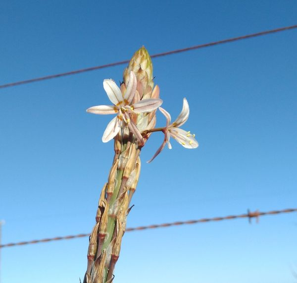 Spring flower in Namaqualand Beauty In Nature Blue Cable Clear Sky Day Different Angle Different Perspective Flower Freshness Growth In Bloom Nature Power Line  Sky Springtime Stem Telephone Line Tranquility Barbed Wire Dramatic Angles