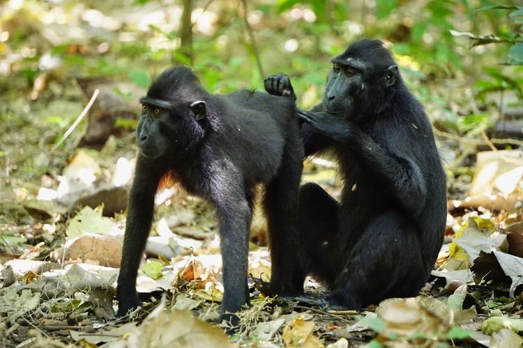 Behavior endemic animal sulawesi's sulawesi black macaque is relaxing in tangkoko national park