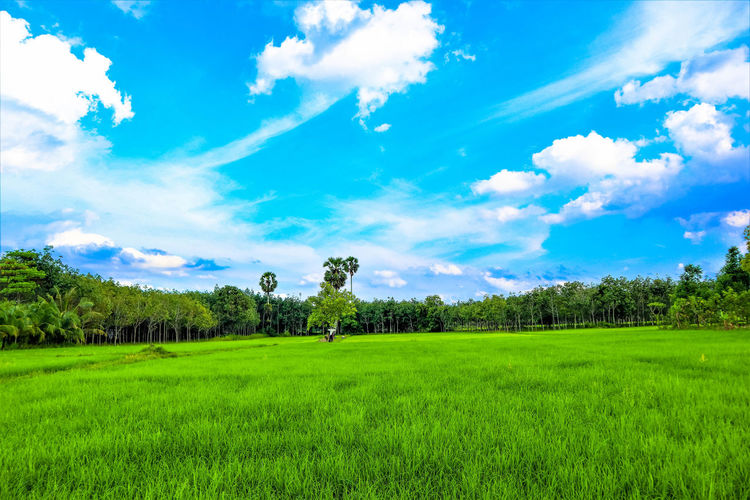 green rice field and blue sky Plant Landscape Sky Environment Grass Tranquil Scene Cloud - Sky Field Green Color Beauty In Nature Land Nature Agriculture Tree Relaxing Agricultural Agricultural Field Agriculture ASIA Blue Sky Blue Background Bali Beautiful Bright Cereal Cloud Colorful Country Countryside Farm Farmland Farming Field Flora Foliage Fresh Garden Grain Grass Green Harvest Hill Horizon Horizontal Leaf Midwestern Natural Nature Rice