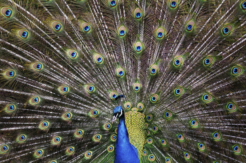 Full frame shot of beautiful peacock with fanned out feathers