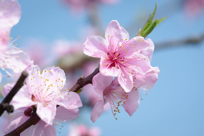 peach flower in springtime Flowering Plant Flower Plant Growth Freshness Fragility Vulnerability  Beauty In Nature Petal Pink Color Blossom Close-up Springtime Pollen Inflorescence Flower Head Nature Day Cherry Blossom No People Outdoors Cherry Tree Plum Blossom Spring Peach Flowers Peach Blossom Spring Flowers
