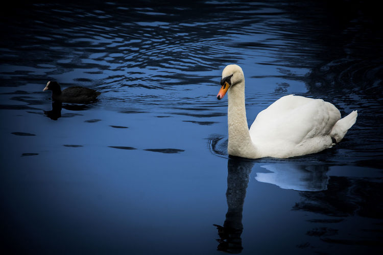 Animal Themes Animals In The Wild Beak Bird Duck Floating On Water Lake Nature Outdoors Reflection Rippled Swan Togetherness Two Animals Water Water Bird Wildlife Zoology
