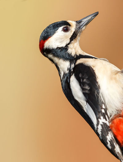 Close-Up Of Great Spotted Woodpecker