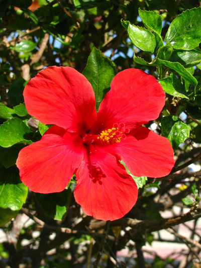 Beauty In Nature Blooming Blossom Botany Close-up Day Flower Flower Head Focus On Foreground Fragility Freshness Green Color Growth Hibiscus In Bloom Leaf Nature No People Outdoors Petal Plant Pollen Red Stamen Tranquility