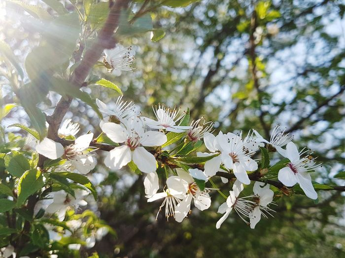Springtime Flower No People Branch Close-up Fragility Flower Head Blossom Freshness Outdoors Nature Beauty In Nature Growth Flowers, Nature And Beauty Flowers_collection Blooming Nature_collection Nature Photography White Color White Petals Tranquility Nature_perfection
