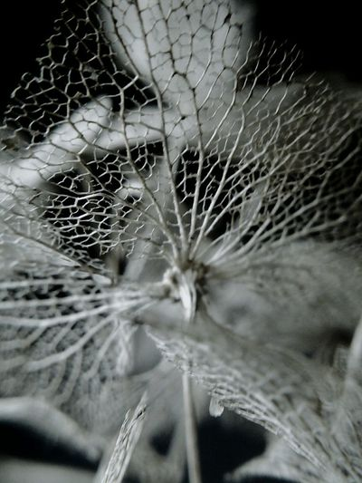 Macro Photography Fragility Filigrain Filigree Filigran Filigran Art Framework Detail Skeleton Leaf