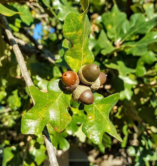 Acorns Fall Fall Colors Acorn Beauty In Nature Texas Hill Country Leaf Close-up Animal Themes Plant Green Color