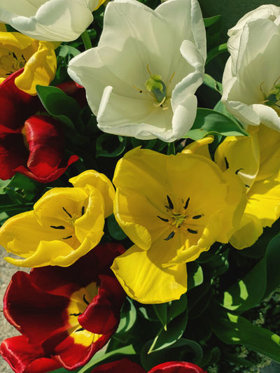 High angle view of multi colored tulips