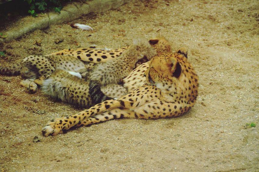 Cheetah Schönbrunn Zoo Cheetah Cub