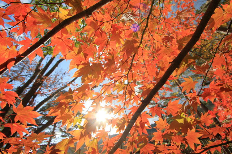 Low angle view of maple leaves on tree during autumn