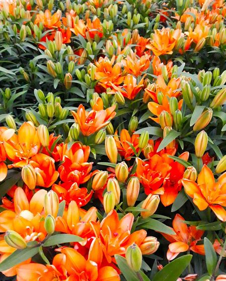 High angle view of orange tulips